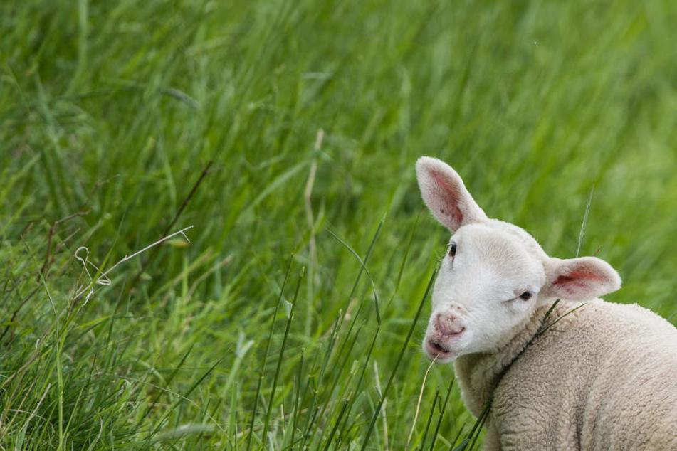 Feuerwehr rettet fünf Schafe aus Fluss, doch ein Lamm schafft es nicht