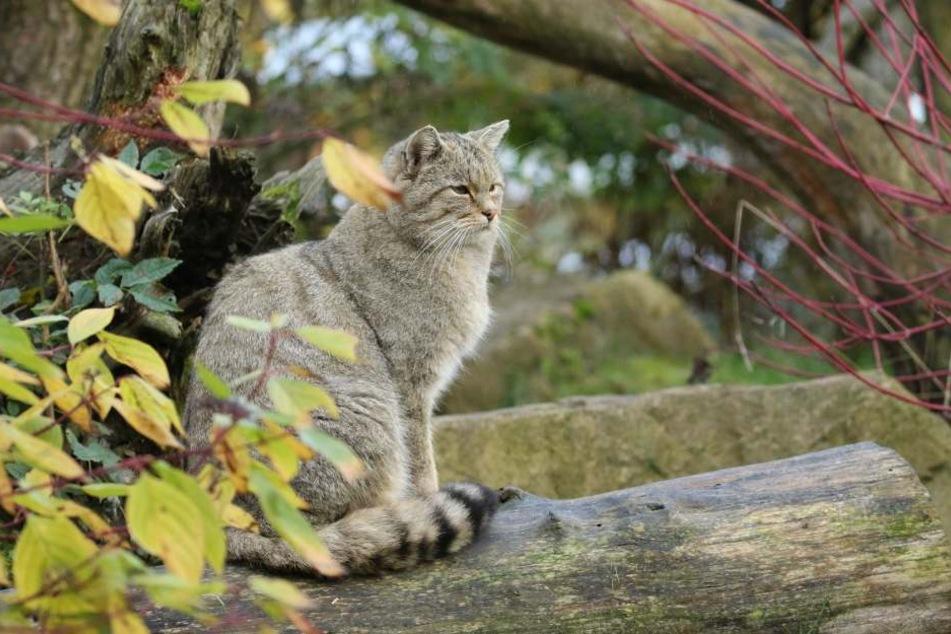 Der Wildkatzenkater kam Anfang November aus Frankreich nach Oberrabenstein.