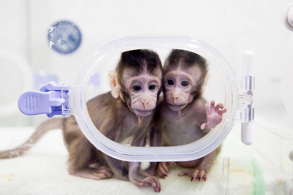 Die zwei genetisch identischen Javaneraffen wurden nach der gleichen Methode wie vor 22 Jahren Klonschaf Dolly erschaffen.