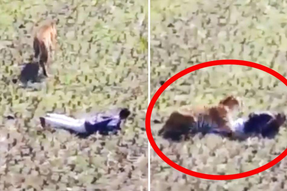Typen treiben Tiger in die Enge, dann greift das Tier einen an!