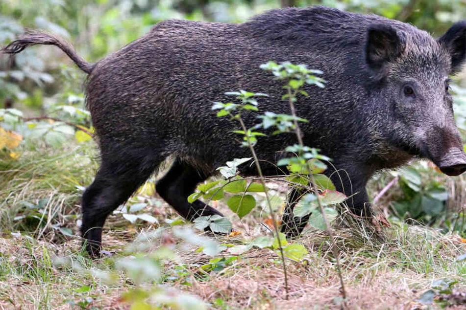 Im zurückliegenden Jagdjahr wurden mehr Wildschweine erlegt. (Symbolbild)
