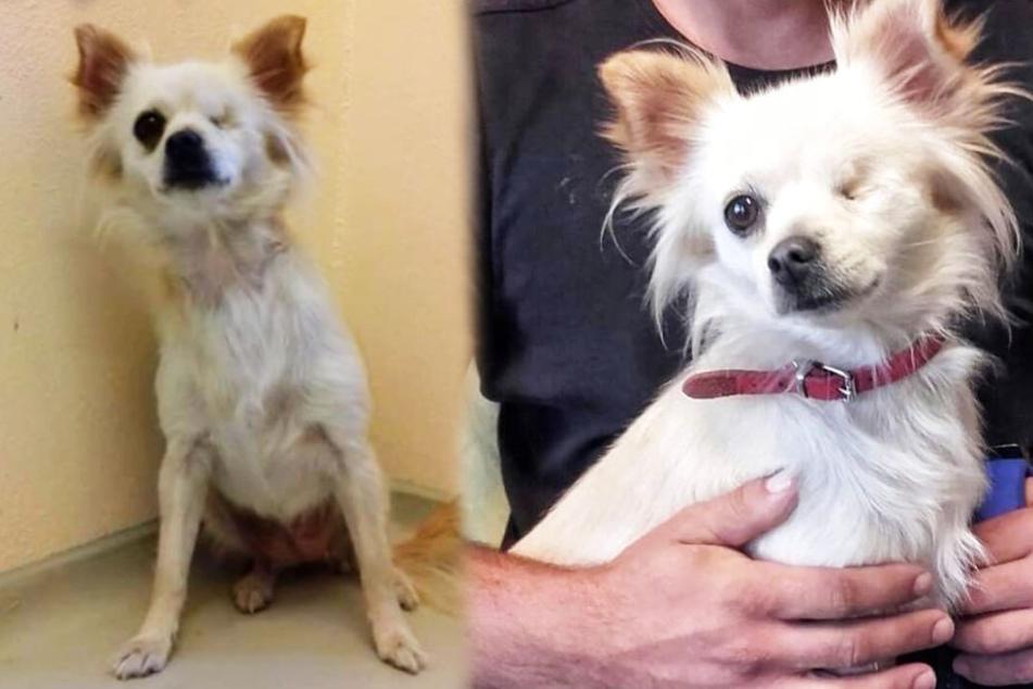 Die süße Chihuahua-Dame wurde einfach an der Autobahn ausgesetzt.