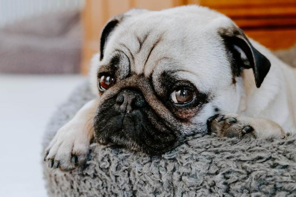 Wie zeigen Hunde, dass sie traurig sind?