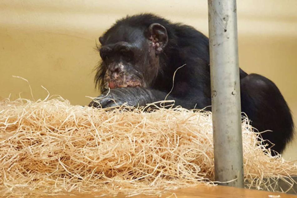Die Schimpansin Bally (46) im Krefelder Zoo hat leichte Verletzungen des Brandes im Gesicht und am Ohr.