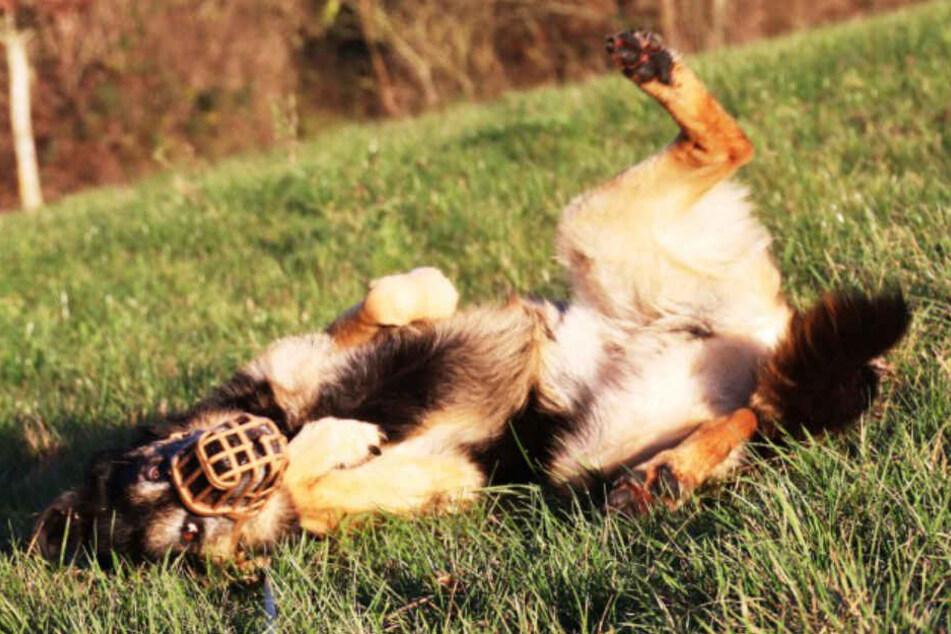 Der Schäferhund hat Maulkorb- und Leinenpflicht.