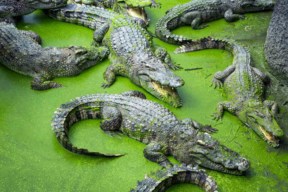 Crocs gone wild: multiple crocodiles escape breeding facility