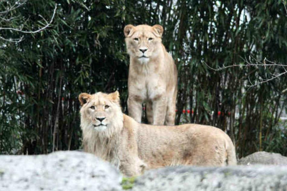Ihre ersten Jungtiere hatte Kigali (hinten) aufgefressen.