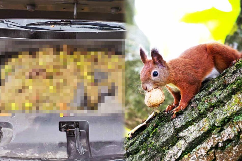 Eichhörnchen ruiniert Auto mit 200 Walnüssen
