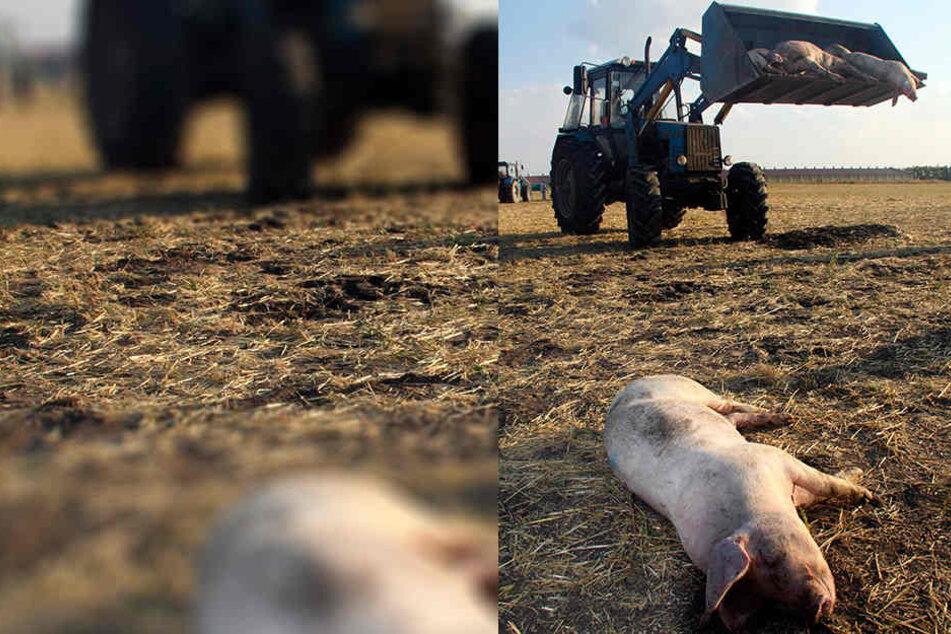 Die Afrikanische Schweinepest zerstörte ganze Betriebe in Osteuropa.