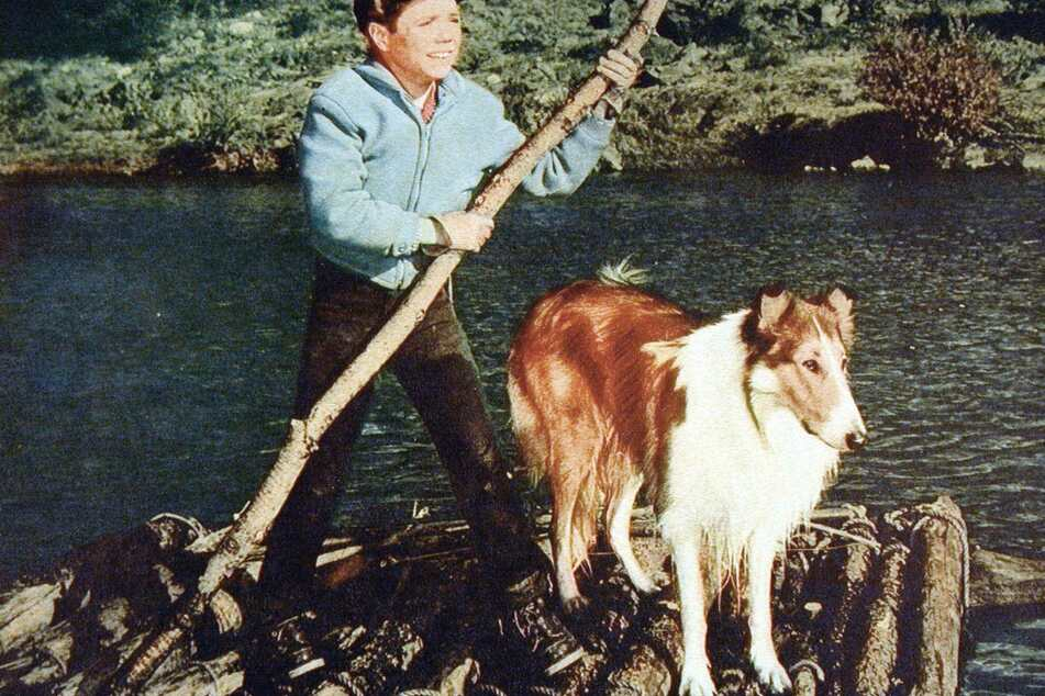 Lassie the collie acts alongside his friend Timmy, played by Jon Provost (archive image).