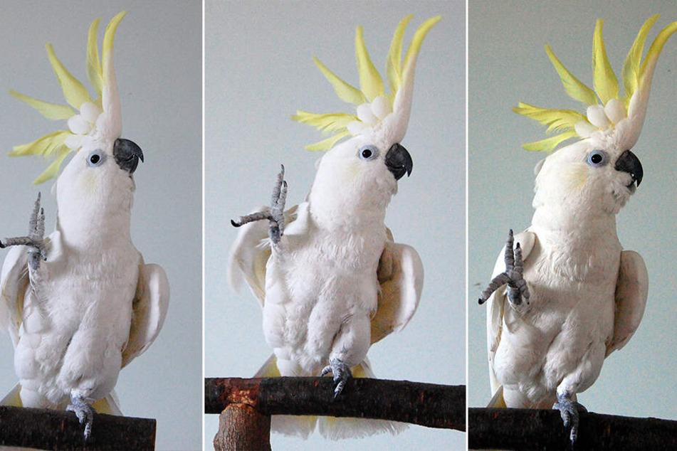 """Der auf Youtube berühmt gewordene Kakadu""""Snowball"""" ist durch seine lässigen Tanzbewegungen ein Star."""