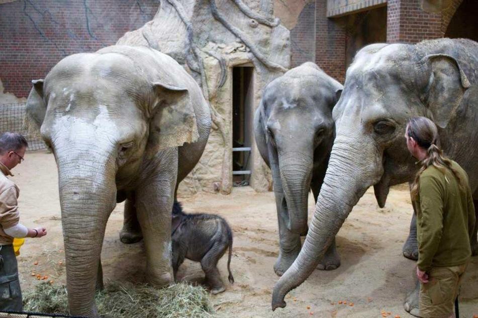 Weil sich Mutter Hoa (l.) nicht genügend um ihr Jungtier kümmert, müssen Pfleger Thomas Günther (r.) und seine Kollegen die Körperpflege des Kleinen übernehmen.