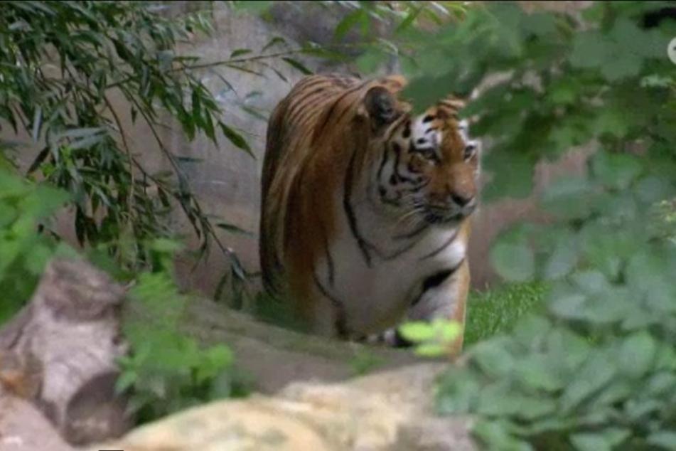 Gemächlich bewegt sich Tiger-Weibchen Bella aus ihrem Versteck zum Wassergraben, wo ein Stück Rinderfleisch auf sie wartet.