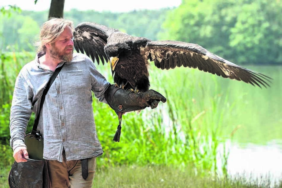 """Hans-Peter Schaaf hält seinen Riesen-Seeadler auf dem Lederhandschuh. Ist Stella erwachsen, wird sie weiße Brustfedern und weiße """"Hosen"""" anhaben."""