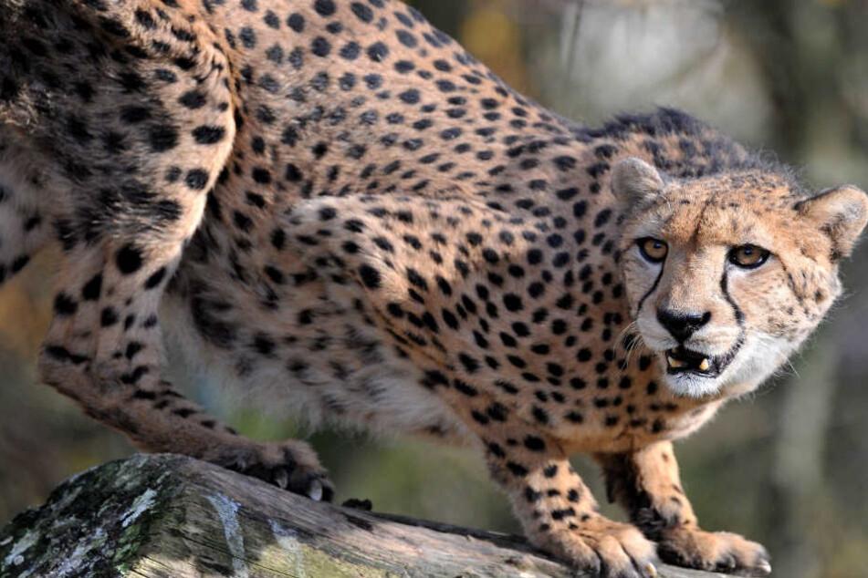 In einem Park haben mehrere Geparden ein Kind ins Visier genommen. (Symbolbild)
