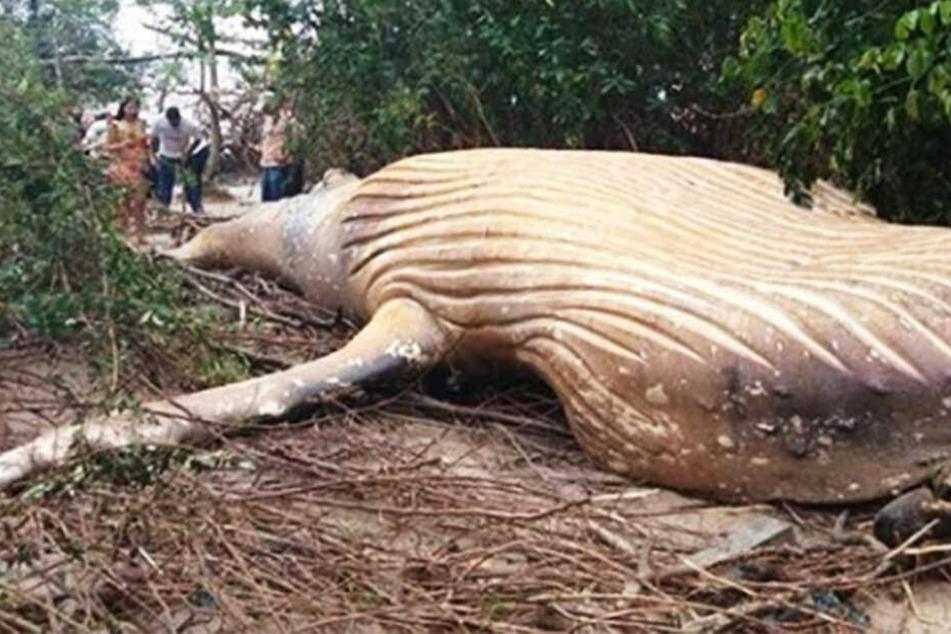 Mysteriöser Vorfall: Buckelwal mitten im Dschungel gefunden!