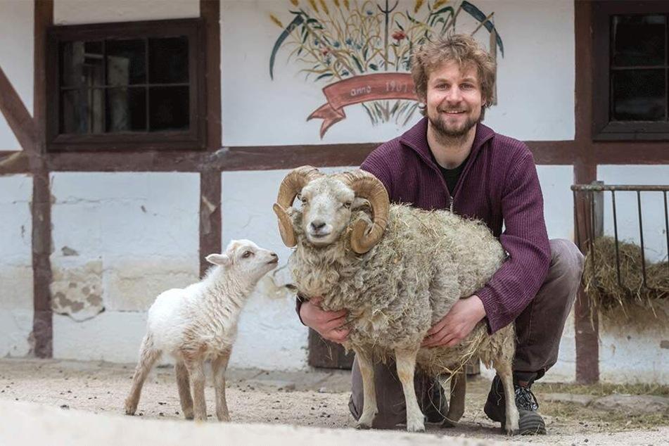 Er ist der neue Star im Zoo der Minis: Quessant-Schafbock Franz, hier mit Tierpfleger Peter Hömke (32), wird von den Jungtieren begrüßt.