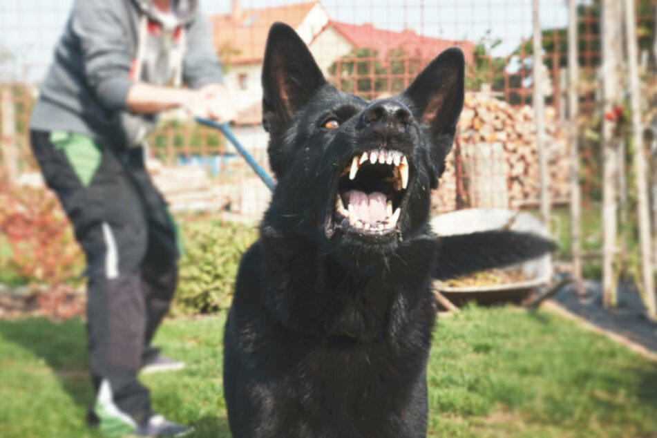 Der Vater gab an, dass ein Hund sein Baby lebensgefährlich verletzt habe. (Symbolbild)
