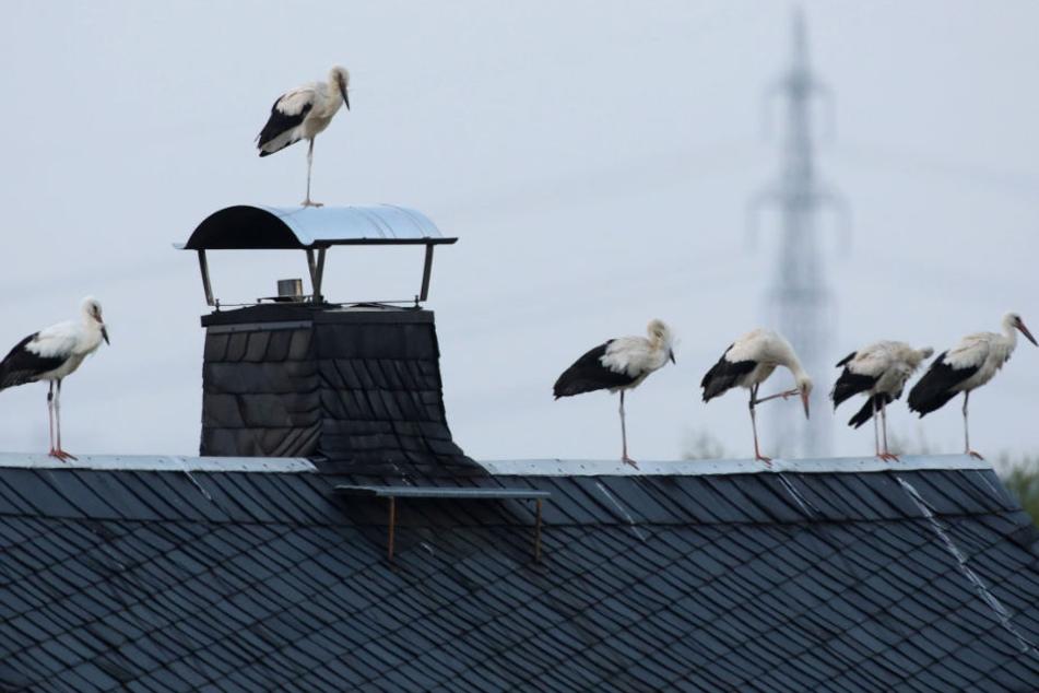 Nachts kommen die Vögel: Invasion der Klapperstörche in Sachsen
