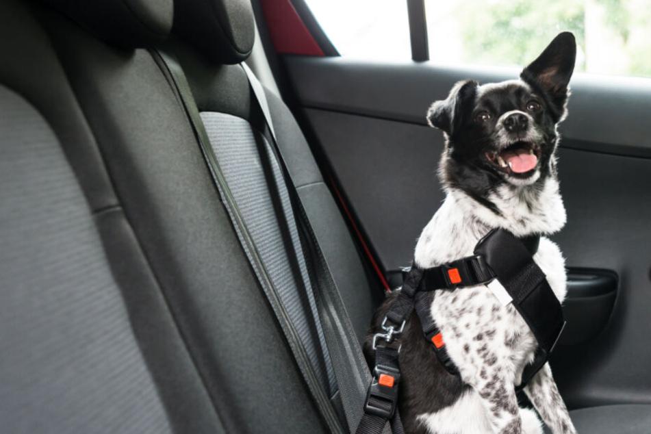 Im geklauten Auto saß auch noch ein Hund, den die Diebe mitnahmen. (Symbolbild)