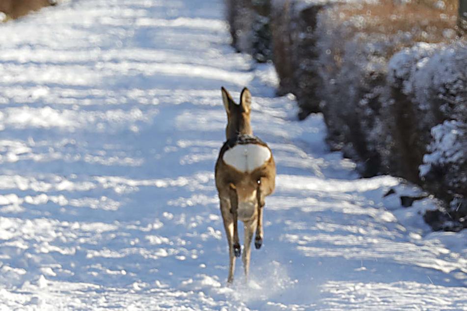 Als das Reh befreit wurde, rannte es sofort in Richtung des Crimmitschauer Waldes davon.