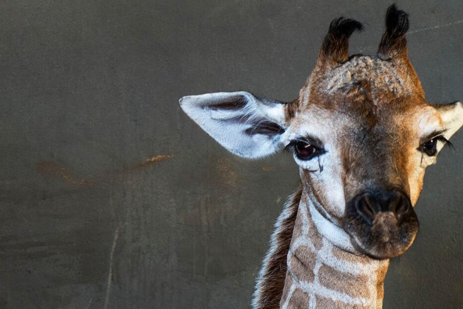 Diese süßen Augen bleiben für immer zu: Baby-Giraffe Jazz ist tot