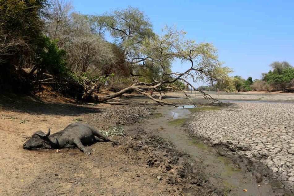 Der Kadaver eines Büffels liegt am Rande einer Wasserstelle, die früher eine verlässliche Wasserversorgung im Mana Pools Nationalpark in Simbabwe garantierte.