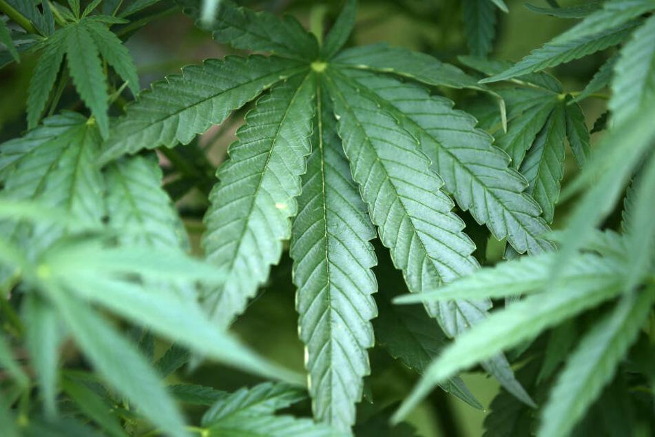 Zu medizinischen Zwecken ist Cannabis auch in Deutschland bereits freigegeben.
