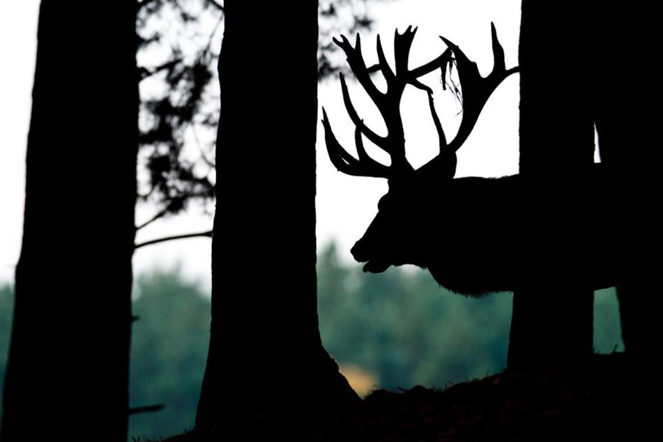Quadratmeter große Blutlache: Wilderer schlachten Hirsch in Gehege
