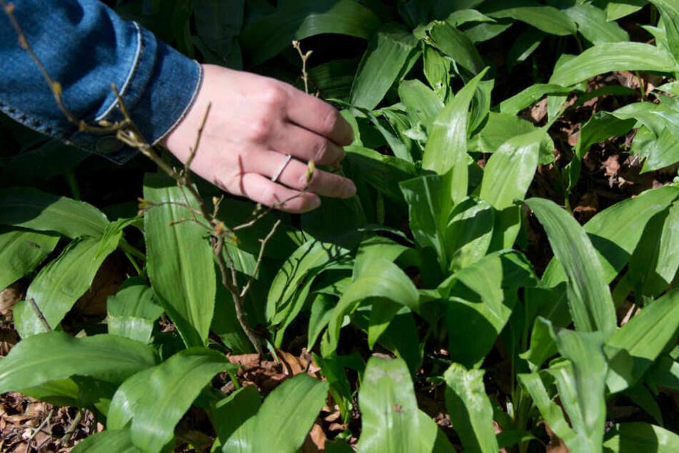 Im Frühjahr wächst und gedeiht Bärlauch fast im gesamten Auwald.