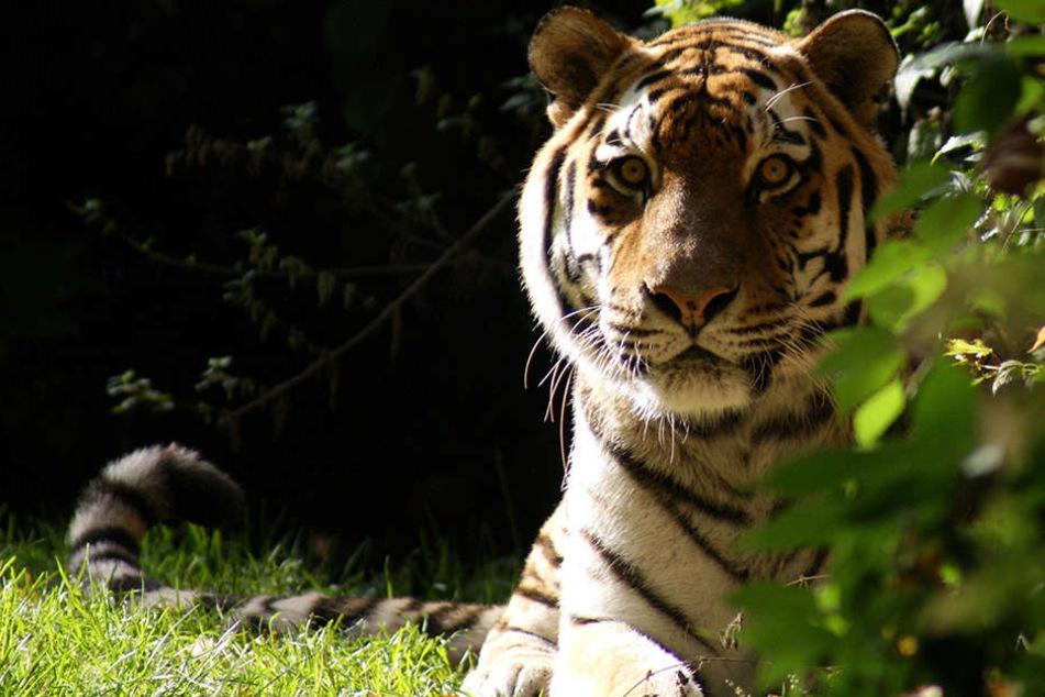 Tiger Jantar wurde 19 Jahre alt.