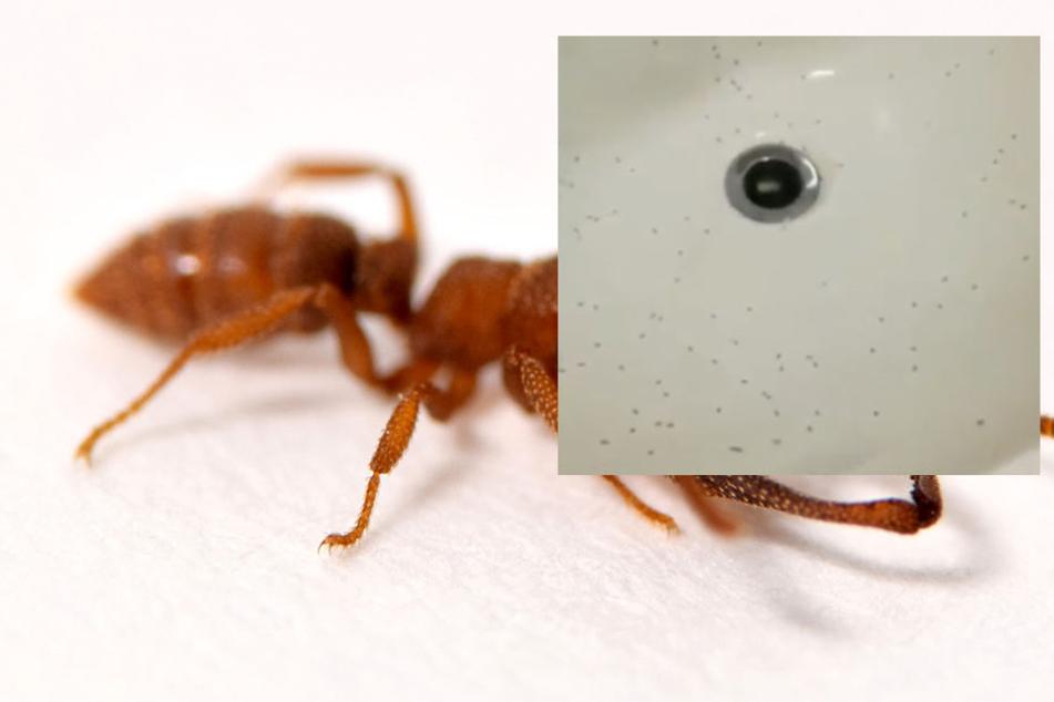 Es sei bereits das dritte Mal, dass Ameisen in den Räumlichkeiten des Krankenhauses gemeldet wurden.