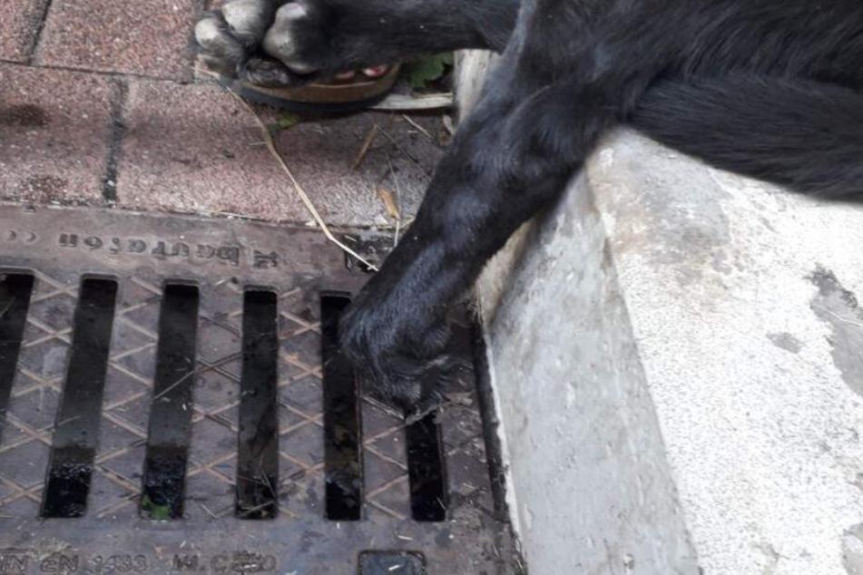 Der Labrador klemmte seine linke Pfote in einem Kanalgitter ein.