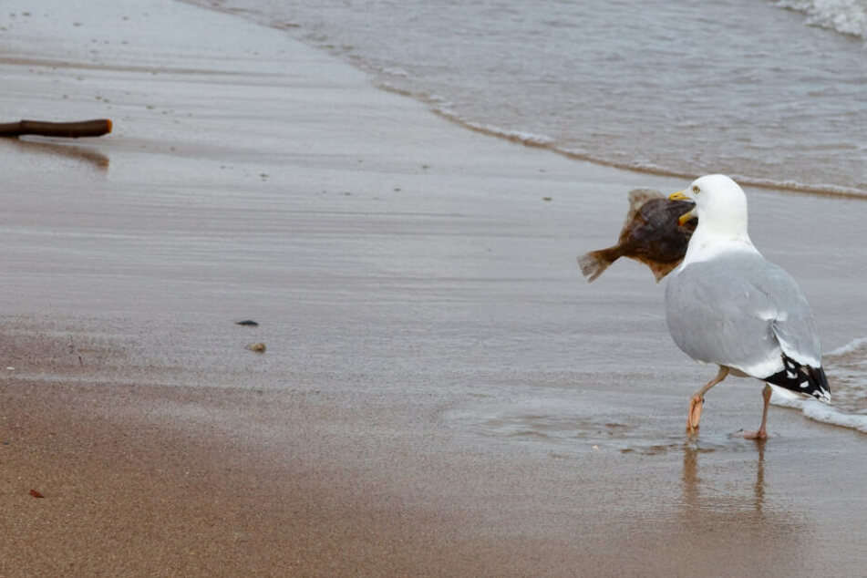 Eine Möwe spaziert mit einem toten Fisch im Schnabel am Strand entlang.