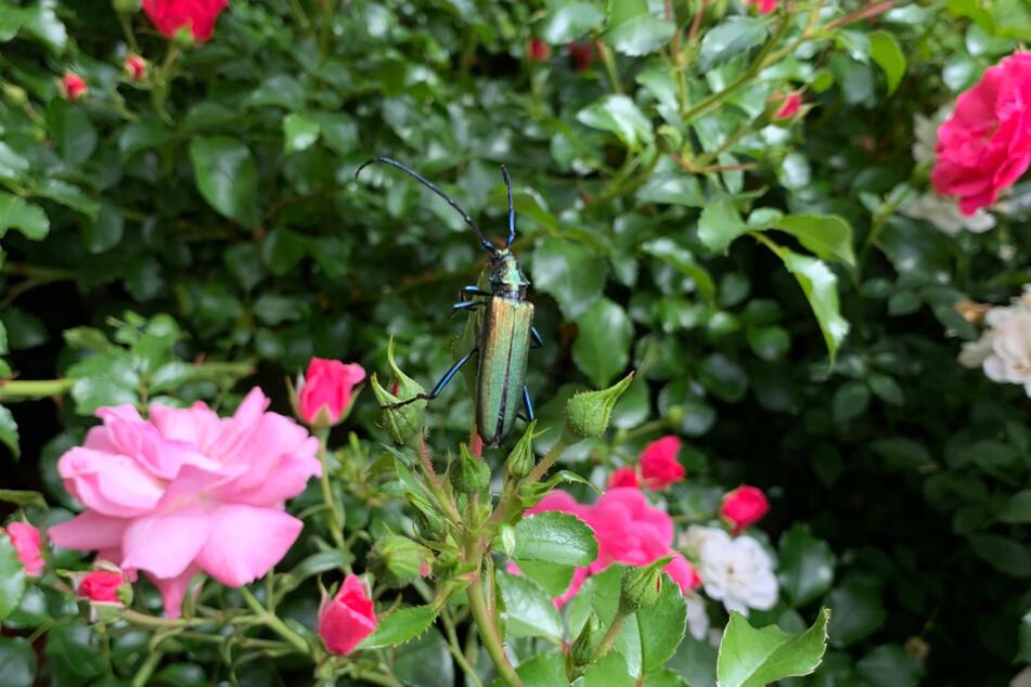 Der Moschusbock wird über drei Zentimeter lang, bei Männchen sind die imposanten Fühler sogar länger als bei den Weibchen.