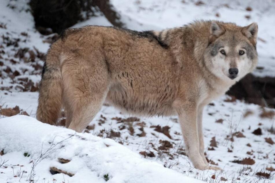 In NRW gibt es bereits zwei offizielle Wolfsgebiete.