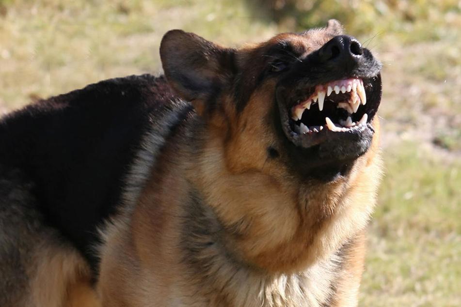 Der altdeutsche Schäferhund griff seine Halterin an. (Symbolbild)