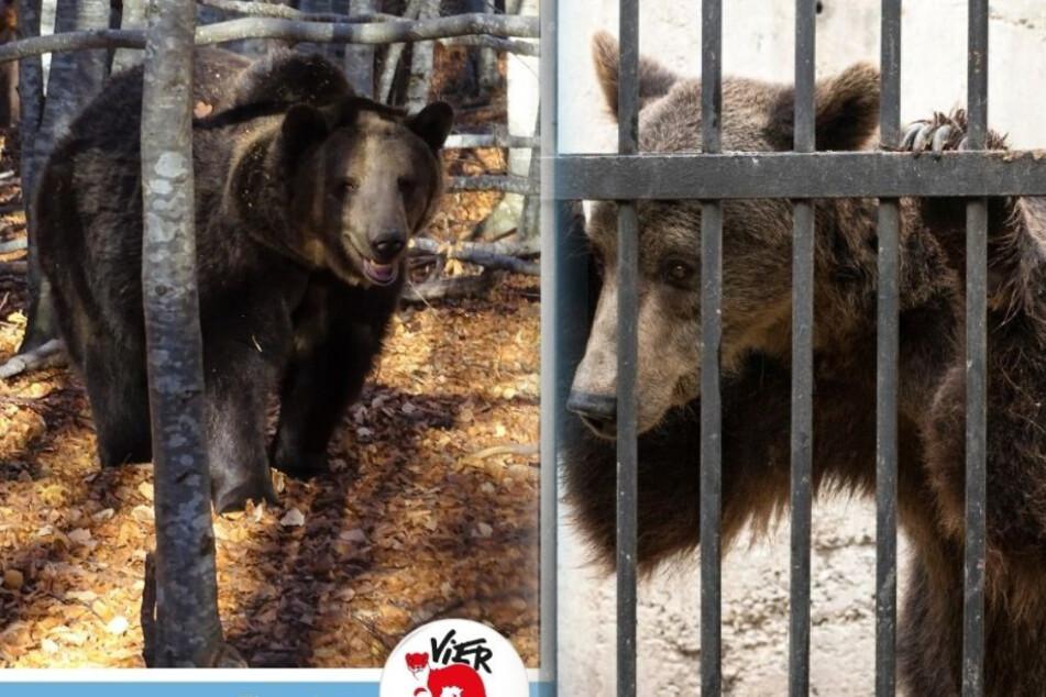 Bär Vesko sieht nun total erholt und gesund aus.