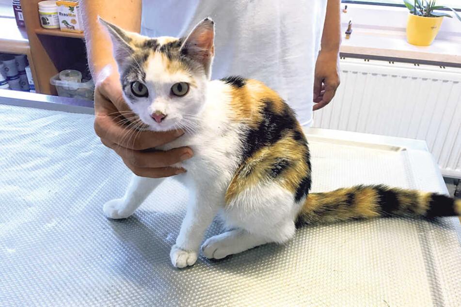 Diese dreifarbige Katze ist der Zwickauer Tierärztin Anne Beinrucker am  Wochenende zugelaufen.