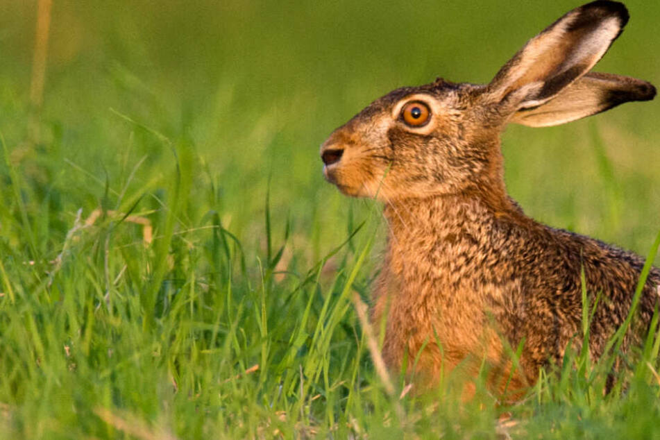 In Bayern wurde erneut ein Fall der Hasenpest nachgewiesen. (Symbolbild)
