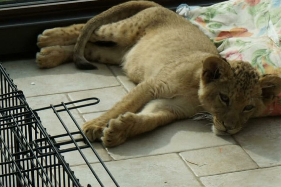 Ungewöhnlicher Anblick. Auf der Terrasse macht es sich ein junger Löwe bequem.