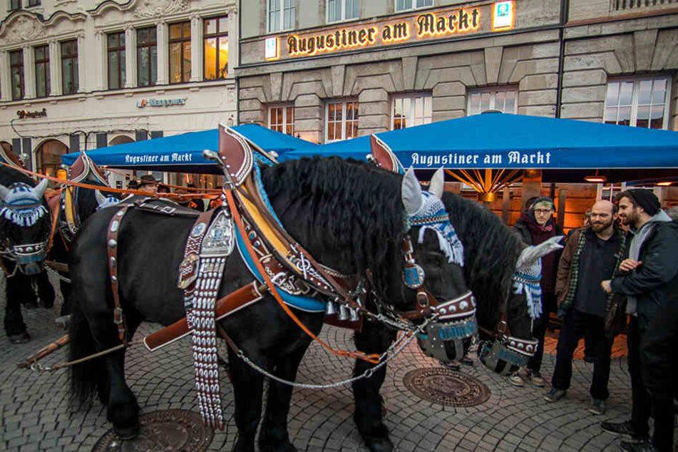 Traditionell zu Pferde wurden die ersten Augustiner-Fässer auf dem Fasswagen von 1901 zum Lokal gebracht.