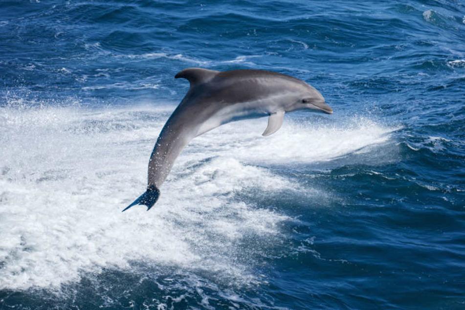Ein Delfin in Frankreich wollte plötzlich mehr als spielen. (Symbolbild)