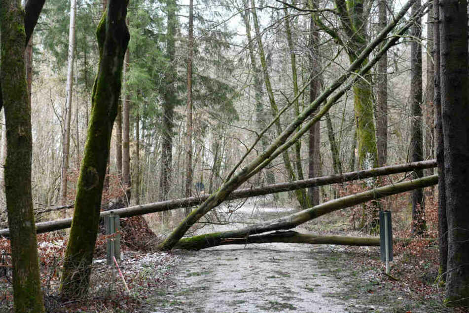 Umgestürzte Bäume versperren den Durchgang in einem Wald.