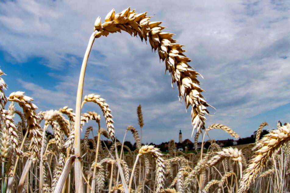 Forscher haben das Erbgut des Weizens nahezu vollständig entschlüsselt.