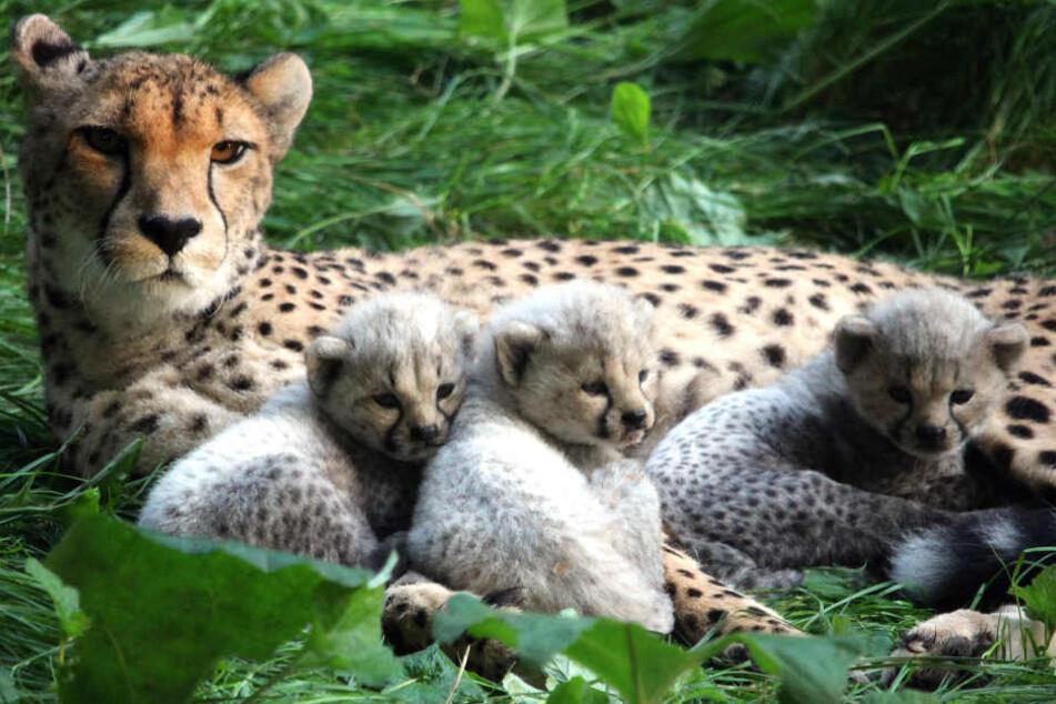 Geparden-Mutter Sima und ihr Nachwuchs.