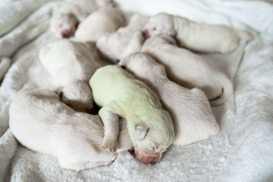 In Wermelskirchen (NRW) ist in einem Wurf weißer Golden-Retriever-Welpen ein mintgrüner Baby-Hund zur Welt gekommen.