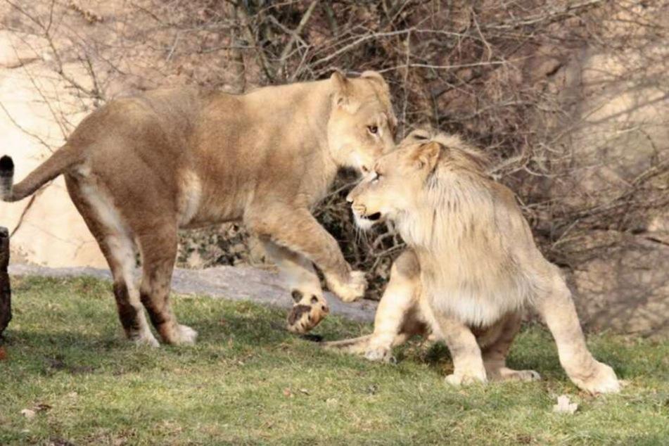 Löwen-Mama Kigali ist noch unerfahren, was das Eltern-Sein angeht.