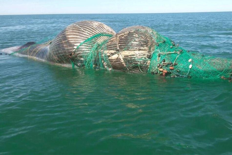 Hummerfischer Joe Howlett (59) befreite Wale aus Fischernetzen. Seine letzte Rettungsaktion kostete ihn das Leben.
