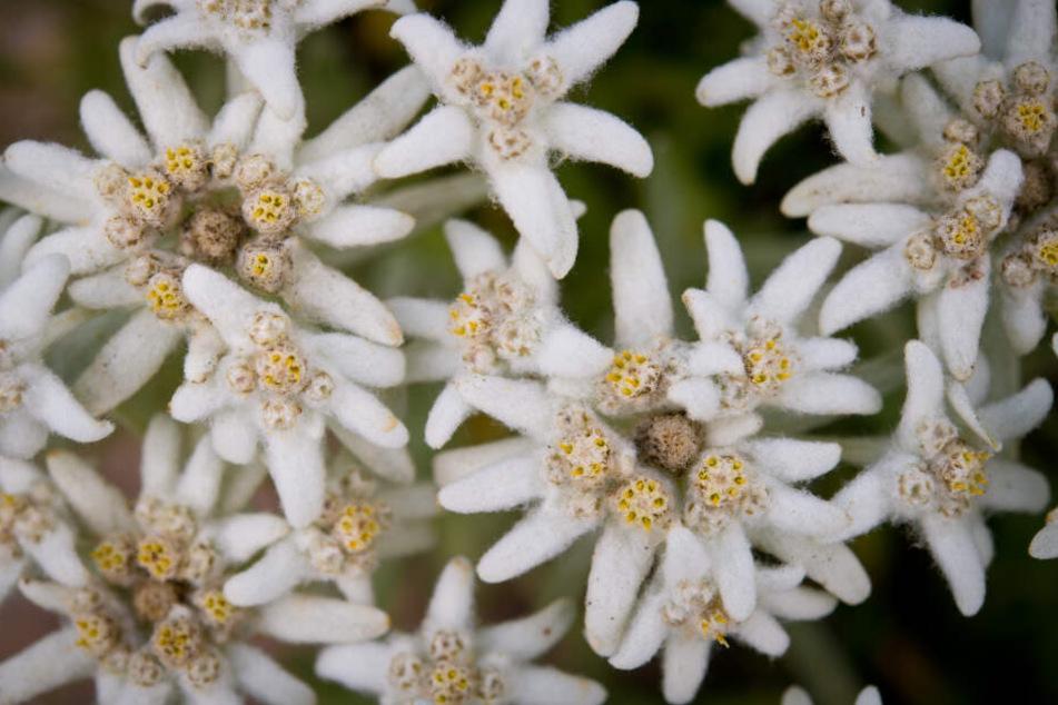 Das Edelweiß in voller Blüte.